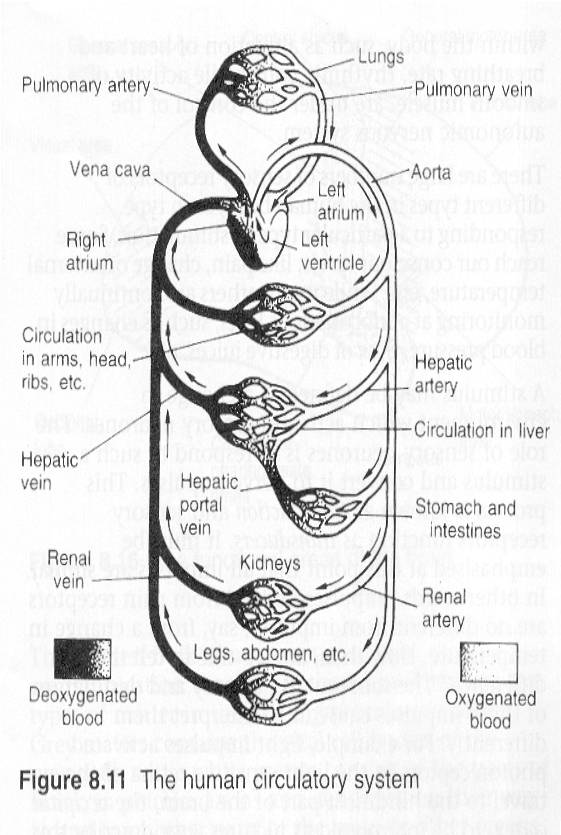 human circulatory system – Circulatory System Worksheet