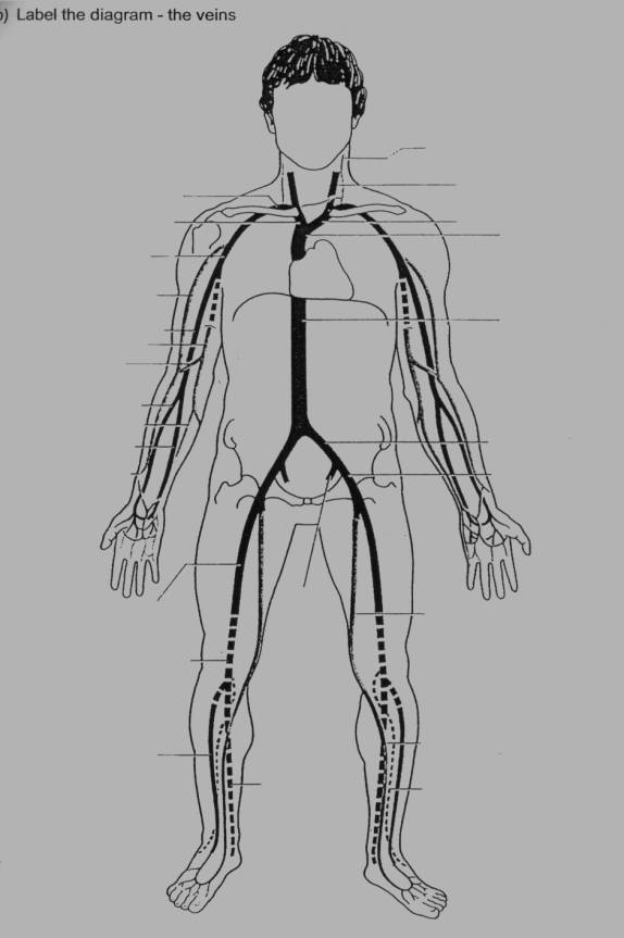 arteries and veins diagram